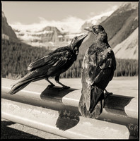 Ravens in Canada